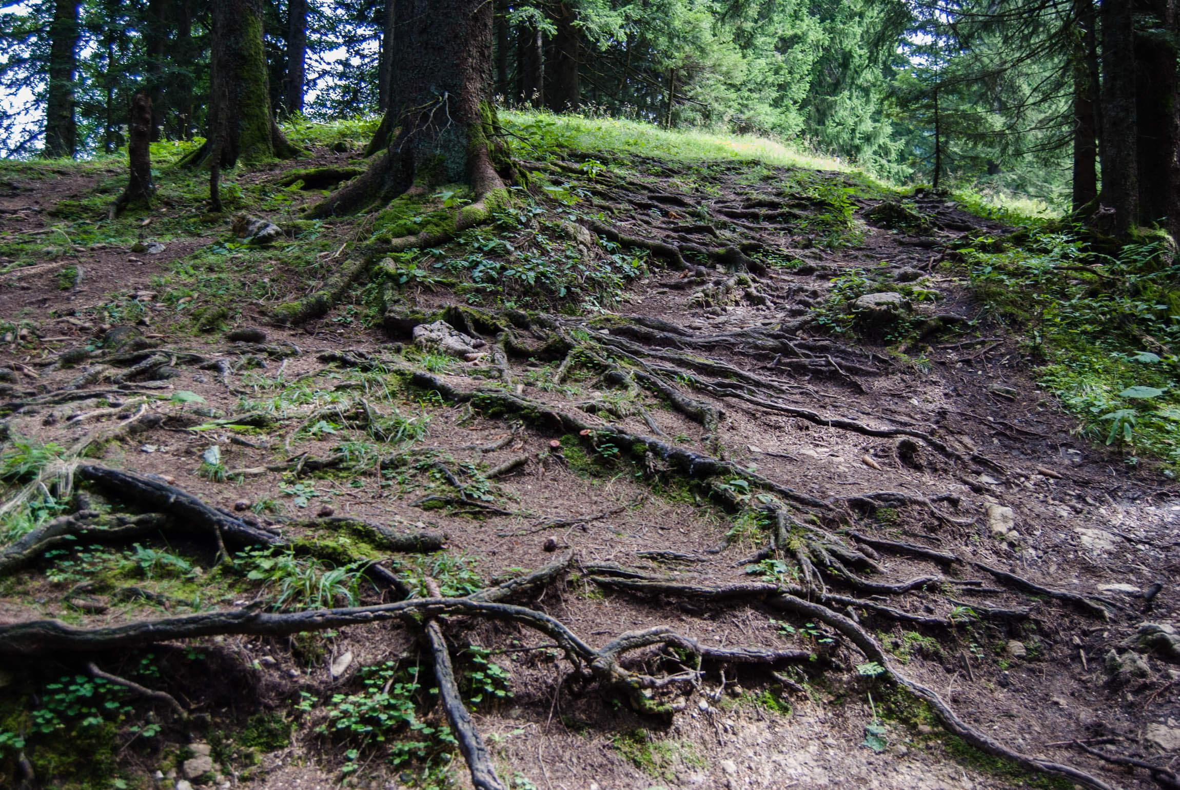 Auch am Geierstein dominieren Wurzeln